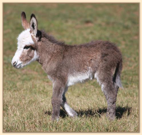 HHAA About Face, masked spot jack with apron face  born at Half Ass Acres Miniature Donkeys