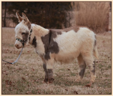 HHAA Bonafide, spotted miniature donkey gelding for sale at Half Ass Acres.