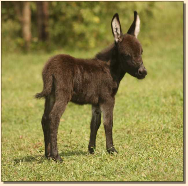 Miniature Donkey for sale, Doll House, at Half Ass Acres.