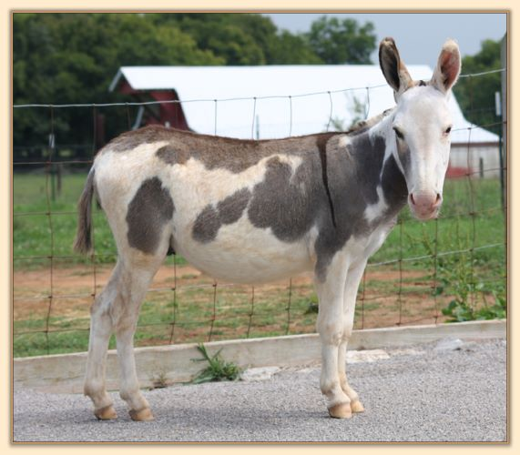 Click photo of spotted miniature donkey to enlarge