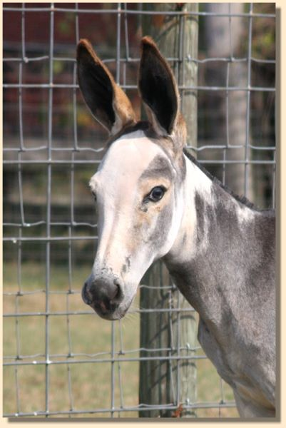 Daisy Mae, dark gray/white spotted weanling jennet for sale!