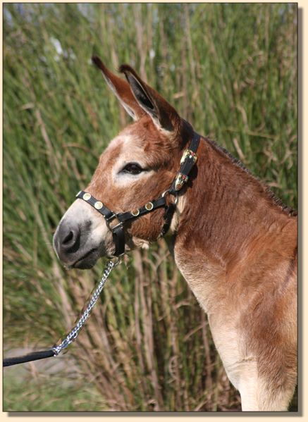 Little Miracles Flash of Crimson, dark red miniature donkey gelding for sale.