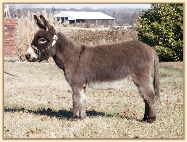 Parkway Farms Mocha, dark brown miniature donkey jennet for sale at Half Ass Acres