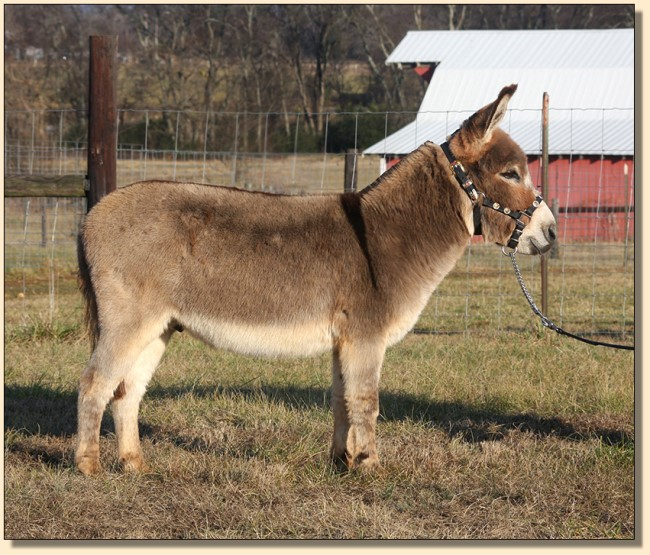 Cyder's Mr. Madison, show miniature donkey gelding for sale.
