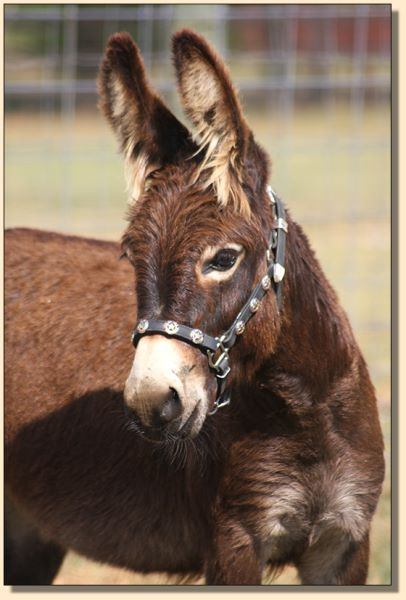 Sweet Tea, miniature donkey for sale at Half Ass Acres