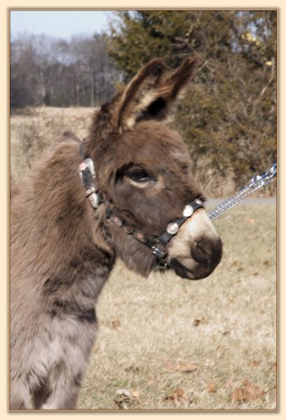 Parkway Farms Willow, gray-dun miniature donkey jennet for sale at Half Ass Acres