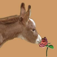 Kissed by a Rose - copyright HAA Miniature Donkeys