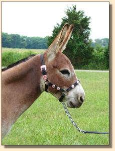 Click photo of miniature donkey to enlarge imag