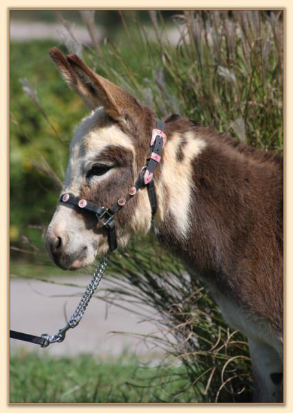 Little Miracles Have Faith, Spotted Miniature Donkey