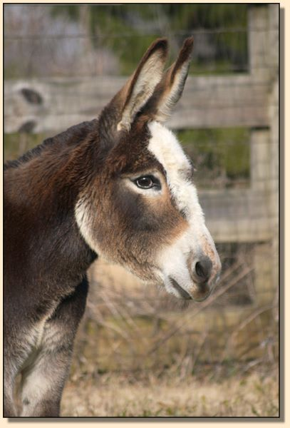 TnT's Taffy, masked spotted miniature donkey brood jennet for sale.