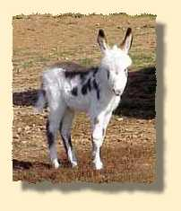miniature donkey, Arizona (7476 bytes)