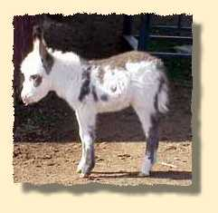 miniature donkey, Arizona (8231 bytes)