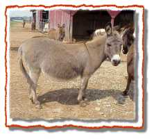 Miniature Donkey Betty (7598 bytes)