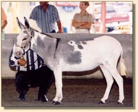 Bianca showing at the Great Celebration Mule & Donkey Show 2003!