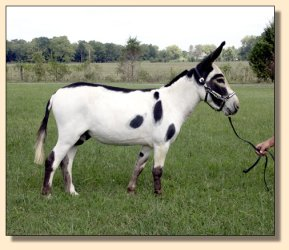 MGF Primero, black and white miniature donkey herd sire
